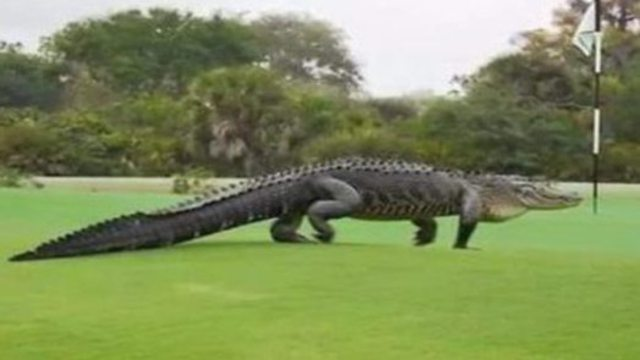 Florida: Riesiger Alligator schlendert über Golfplatz. (Screenshot: Bit Projects)