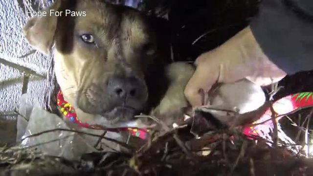Tierretter von Hope for Paws bringen die Hundefamilie vorerst in ihre Obhut. (Screenshot: Hope for Paws)